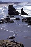 Americans;birds;ornithology;animals;fauna;North_America;USA;United_States_of_America;USA;Bandon_by_the_Beach;Oregon;United_States;Sea_stack