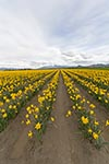 Field;Yellow_Trumpet_Daffodils;Narcissus;Mount_Vernon;Skagit_Valley;Washington;United_States;America;blooms;blossoms;botanical;botany;flora;flowers;gardens;Mount_Vernon;North_America;plants;Skagit_Valley;United_States;United_States_of_America;USA;Washington