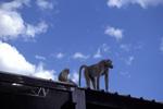 _Zambian;_Africa;_Olive_Baboon;_Papio_anubis;_Livingstone;_Southern_Province;_Zambia
